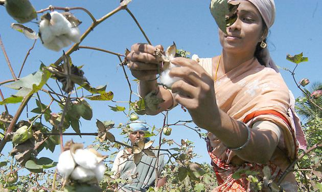 India: Farmers cotton on to new seed, in blow to Monsanto