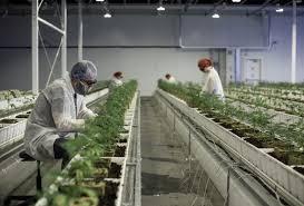 Aurora Cannabis Surges 14% as Activist Investor Nelson Peltz Joins as Strategic Advisor